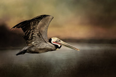 Fly Away Home (Stevie Benintende) Tags: oceansideharbor away feather wildlife artistic waterfowl nature bird pelican home water fly flight painterly texture