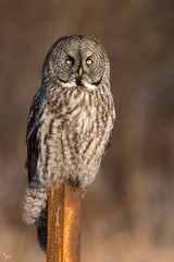 Great Gray Owl (NicoleW0000) Tags: greatgrayowl owl grey gray wild wildlife phantomofthenorth outdoor woods goldenhour canon