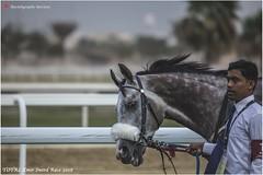 IMG_7094 copy (Services 33159455) Tags: qatar doha horse racing qrec emir horseracing raytohgraphy