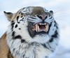 Hehehe you humans slip on this white stuff and fall over (joannekerry) Tags: siberiantiger amurtiger tiger bigcats cats yorkshirewildlifepark wildlife nature snow canon