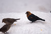 Cowbird of an unusual color (dbifulco) Tags: bhco nature bird birds brownheadedcowbird morph newjersey outdoors snow unusual wildlife winter