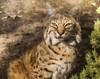 Nice Kitty Kitty . . . (Dr. Farnsworth) Tags: zoo emeraldcoastzoo bobcat enclosure glass fence phtograph destin fl florida winter january2018 beautiesbeasts