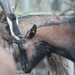 Oestrus goats sniff heads