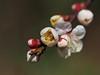 Japanese apricot (Prunus mume, 梅) blossoms (Greg Peterson in Japan) Tags: 梅 shiga hayashi plants 栗東市 ritto japan plumblossoms 植物 花 flowers 滋賀県 shigaprefecture
