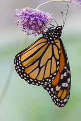 Monarchvlinder (d_smets) Tags: danausplexippus lieteberg monarchvlinder zutendaal vlinderserre