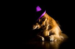 Light vs Dark 5/52 (bztraining) Tags: dogchal henry odc bzdogs bztraining golden retriever 3652018 52weeksfordogs 100xthe2018edition 100x2018 image2100
