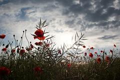 Quelques fleurs sauvages pour dire adieu à mon reflex 😢 (Elisa.z) Tags: 1855mm 2014 appareilphoto canon70d objectif