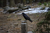 Raven (rschnaible (Not posting but enjoying your posts)) Tags: sequoia national park outdoor west western us usa california hike landscape raven bird wild sierranevada