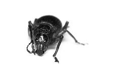 Ndineqet (Eric Gitonga) Tags: ndineqet dutrait blackandwhite ericgitonga kenya nature macro arthropods phylum kingdom arthropoda animal animalia segment segmented head abdomen legs mouth eyes compoundeye simpleeye instar exuvia moult exoskeleton grow develop misunderstood stinger sting egg fertilization sperm female male nairobi karen insect insecta thorax 6legs wings flight crawl antenna beetleweevil