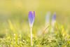 Vorfrühling im Januar! (Gerosas) Tags: aposonnart2135 blau blüte bokeh carlzeiss frühblüher januar krokus lila mild natur offenblende park pflanze remsmurrkreis sonnar violett waiblingen winter zeiss crocus