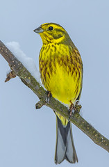 Yellowhammer in winter 2 (Bojan Žavcer) Tags: yellowhammer winter emberizacitrinella bird animal wildlife nature canoneos7dmarkii ef600mmf4lisusm blue green orange red eye fauna colorful depthoffield wing abstract color outdoor park water white wild avian beautiful birding space long amazing blur broun fascinant fast flight enviromant perching stick sunlight tailed head lovely