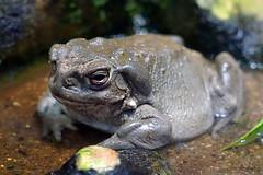 Coloradokröten (ingrid eulenfan) Tags: zoo leipzig frosch coloradokröten kröten amphibia lurche frog