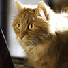 Clem Thursday: Seriously Sunny (Photo Amy) Tags: adorable aminal canon50d cat cuddly cute cuteness ef50mm18 eartufts feline fluffy fur furry ginger kitten longhair longhaired orange pet precious red tabby toefur whisker whiskers