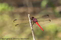 Red tailed, or Schmidt's Skimmer (N2NATURE PHOTOGRAPHY) Tags: trinidad west indies schmidts skimmer red tailed orthemis
