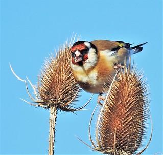 Druridge Ponds - Goldfinch on Teasel Heads