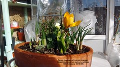 Pansy (yellow) & Crocus (orange) flowering in pot on balcony railings 15th February 2018 006 (D@viD_2.011) Tags: pansy yellow crocus orange flowering pot balcony railings 15th february 2018