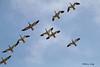 Bombs away (billbigfish) Tags: geese snowgeese fowl waterfowl ngc birdwatcher nature wildlife canon80d canon tamron wildlifephotography