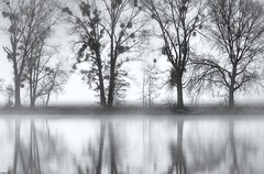 *foggy reflections* (Albert Wirtz @ Landscape and Nature Photography) Tags: trier quint ehrang schweich reflections spiegelung mosel moseltal moselsteig meadow wiese germany deutschland rheinlandpfalz fog mist misty foggy nebbia laniebla niebla brume bruma brouillard trees natur nature landscape landschaft paesaggi paysages pappeln abstrakt abstract abstraktenatur natureabstract rhinelandpalatinate moselle mosellevalley river flus blackwhite schwarzweiss bw
