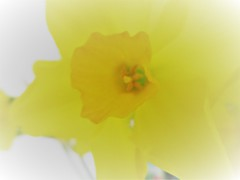 Soft focus (pefkosmad) Tags: narcissus narcissi flower flowers yellow nature daffs spring fleur blumen fiori softfocus