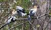 Anhinga Chicks (Anhinga anhinga); Corkscrew Swamp Sanctuary, Florida [Lou Feltz] (deserttoad) Tags: nature trees swamp florida bird wildbird nest anhinga young behavior preserve