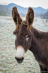 2__.jpg (Nu Mero) Tags: ane valléedevillé animaux villé grandest france fr