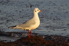Black-headed Gull (nancyvillone) Tags: blackheaded gull capecod ma rare barnstable