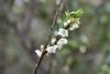 DSC_3658 (tsay.raymond) Tags: 柳家梅園 plumblossom