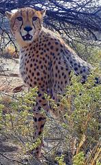 20171001_064054 (dieter.schultheiss) Tags: namibia naankuse lodge erindi game sossusvlei swakopmund safari cheetah lion gepard oryx dunes elephant elefant wild dog wildhund gnu zebra crocodile krokodil san bushmen buschmänner dead vlei solitaire