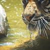 love those whiskers (Bl.Mtns.Grandma) Tags: sumatran tiger flies taronga zoo sydney