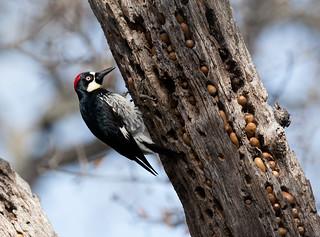 Acorn Woodpecker at the Granary