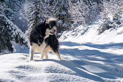 Alaskam Malamute Denzel (Wolfhowl) Tags: 2018 france frenchalps winter landscape montblanc cute chamonixmontblanc kawaii mountains young february alpinemountains франція petitbalconsud clouds snow chamonix montblancmassif alaskanmalamute denzel puppy travel dog alps highfive шамоні chamonixvalley valley europe fun malamute