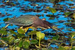 Green heron-Orlando Wetlands-2-6-18-2 (hudsonvalleybirder) Tags: greenheron