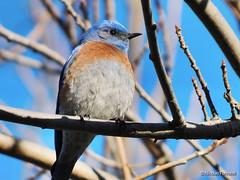 Western Bluebird at Almaden Lake (Nicolas Forestell) Tags: westernbluebird bluebird bird birds bayarea santaclaracounty santaclara sanjose almadelakeregionalpark almadenlake