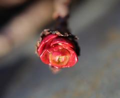 Dragon's Blood Sedum (RebelRob) Tags: sedum dragonsbloodsedum vancouverisland victoriabc gardenplants gardening britishcolumbia sedumspurium
