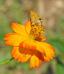 what a day of rejoicing in heaven !!! (Vicki's Nature) Tags: fieryskipper small yellow golden butterfly orange cosmos wildflower blossom colorful fiery spots etowahriverpark georgia vickisnature canon s5 6995