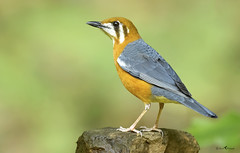 Orange-headed grounded thrush (arunprasad.shots) Tags: explore ngc thrush birdsofindia indianbirds birding perch nikon westernghats kerala