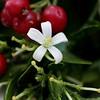 Murraya paniculata (Mauricio Mercadante) Tags: taxonomy:binomial=murrayapaniculata murrayapaniculata murraya rutaceae lagosul fruiting