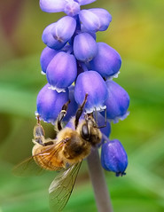 Honeybee and Grape Hyacinth Muscari (MJRodock) Tags: ed40150mmf28 hymenoptera blue insect georgia macro olympus honeybee hyacinth