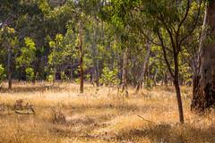 Tinder dry (dmunro100) Tags: summer heat dry arid bushland natural belair belairnationalpark snake fire southaustralia
