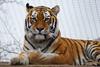 Tiger_Schönbrunn (fuhsaz) Tags: animal tiergartenschönbrunn tiger fz200