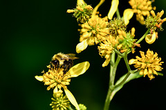 Bee with Yellow Wildflowers (thatSandygirl) Tags: outdoor nature mountvernon ohio arielfoundationpark park summer september outdoors flowers wildflowers blossom bloom yellowflowers yellow petals macro bee insect animal pollinator depthoffield bokeh pollen