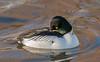 JWL6204  Goldeneye.. (jefflack Wildlife&Nature) Tags: goldeneye ducks duck seabirds seashore countryside coastalbirds estuaries estuary reservoirs lakes coastline nature wintermigrant seaducks