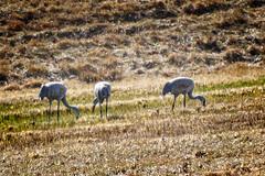 Sandhill Cranes (jwfuqua-photography) Tags: sandhillcrane pinerundam wildlife jerrywfuqua pennsylvania nature buckscounty jwfuquaphotography