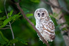 Barred Owlet (fsong) Tags: barred owlet