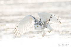 Claws out (Earl Reinink) Tags: bird animal raptor predator winter owl earl reinink earlreinink nikon niagara canada cold snbw claws eyes wings snowowl tuaataadza