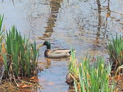 Splish Splash (clarkcg photography) Tags: duck drake greenhead water reeds plants animal fauna faunasunday sundayfauna 7dwf