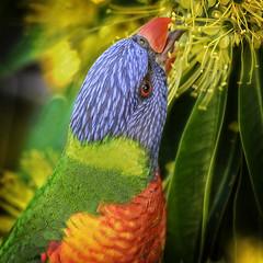 rainbow lorikeet in the golden penda (Fat Burns ☮ (on/off)) Tags: rainbowlorikeet bluey parrotbird australianbird australianparrot australianfauna fauna rainbow nectar nikond610