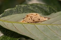 IMG_0229 Egg capsule of mantis (vlee1009) Tags: eggs mantis 2017 60d canon december taipei taiwan macro nature 和美山 新店