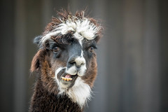 How You Feel The Morning After The Night Before.jpg (Darren Berg) Tags: alpaca drunk bedhead funny fur straw comical teeth eyes