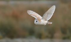 Barn Owl (KHR Images) Tags: barnowl barn owl tytoalba wild bird birdofprey flying wickenfen nationaltrust wildlife nature dusk lowlight nikon d500 kevinrobson khrimages